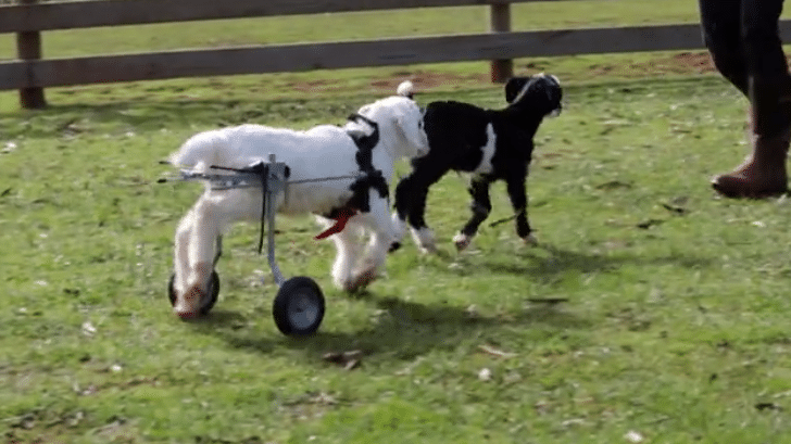 baby-goat-wheelchair-user