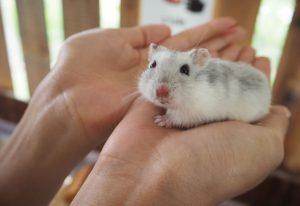 House hamster